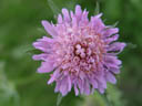 butterfly blue (scabiosa columbaria)