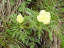 alpine anemone (pulsatilla alpina sulphurea). 2004-06-06, Sony Cybershot DSC-F717.