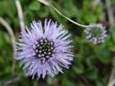 globe daisy (globularia punctata)