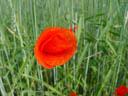 poppy seed (papaver somniferum)