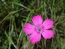 pink (dianthus seguieri)