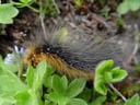 hairy caterpillar - garden tiger (arctia caja). 2004-06-23, Sony Cybershot DSC-F717.