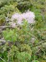 columbine meadow rue (thalictrum aquilaegifolium)