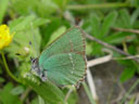 green hairstreak (callophrys rubi)