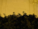 yew tree silhouette. 2004-06-26, Sony Cybershot DSC-F717.