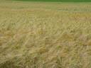 corn field. 2004-07-02, Sony Cybershot DSC-F717.