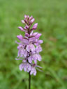 purple orchid (orchis  mascula)