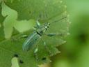 a weevil (phyllobius psittacinus)