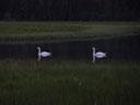 swans. 2004-07-22, Sony Cybershot DSC-F717.