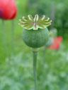 poppy seed (papaver sp.). 2004-07-24, Sony Cybershot DSC-F717.