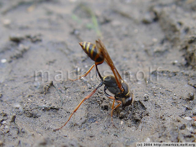 hard working digger wasp (sceliphron curvatum)