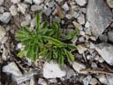 saxifrage (saxifraga sp.). 2004-08-08, Sony Cybershot DSC-F717.