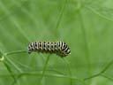 young swallowtail caterpillar (papilio machaon). 2004-08-19, Sony Cybershot DSC-F717.