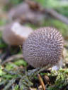 puffball (lycoperdon sp.?)