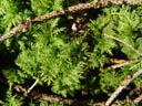 common tamarisk-moss (thuidium tamariscinum). 2004-09-02, Sony Cybershot DSC-F717.