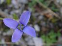fringed gentian (gentiana ciliata). 2004-09-07, Sony Cybershot DSC-F717.