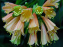 clivia (clivia nobilis). 2004-09-11, Sony Cybershot DSC-F717.
