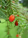 yew berry (taxus baccata)