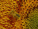 flying honey-bee (apis mellifera). 2004-09-17, Sony Cybershot DSC-F717.