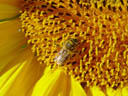 honey-bee (apis mellifera) on a sunflower