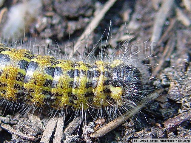 a buff-tip caterpillar (phalera bucephala) crossing the track