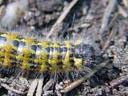 a buff-tip caterpillar (phalera bucephala) crossing the track. 2004-09-19, Sony Cybershot DSC-F717.