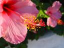 hibiscus flower. 2004-09-27, Sony Cybershot DSC-F717.