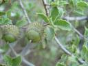 thorny plant (ilex sp.?). 2004-09-29, Sony Cybershot DSC-F717.