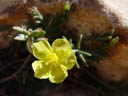 potentilla look-alike