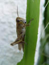 one of the giant grasshoppers having ...lunch