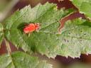 velvet mite (trombidium holosericeum). 2004-10-08, Sony Cybershot DSC-F717.