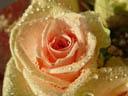 rose (rosa sp.). 2004-10-16, Sony Cybershot DSC-F717.