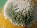 lemon mold. 2005-01-09, Sony Cybershot DSC-F717.