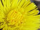 coltsfoot flower (tussilago farfara) closeup
