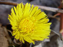 coltsfoot flower (tussilago farfara)