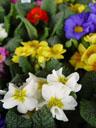 primroses (primula sp.)