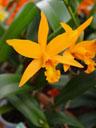 cattleya hybrid (cattleya sp.) ?
