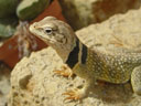 mojave black-collared lizard (crotaphytus bicinctores)