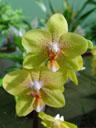 phalaenopsis hybrid (phalaenopsis sp.). 2005-03-13, Sony Cybershot DSC-F717.