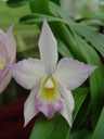 another phalaenopsis hybrid (phalaenopsis sp.)