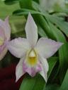 another phalaenopsis hybrid (phalaenopsis sp.). 2005-03-13, Sony Cybershot DSC-F717.