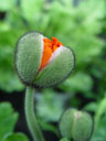 poppy seed (papaver sp.)
