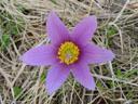 innsbruck's pasqueflower (pulsatilla oenipontana). 2005-03-27, Sony Cybershot DSC-F505.