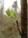 young ash-twig (fraxinus sp.)