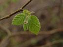 young hazelnut twig (corylus avellana)