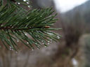 stone pine (pinus cembra?) and raindrops
