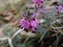 winter heath (erica carnea)