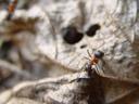 southern wood ant (formica rufa). 2005-04-15, Sony Cybershot DSC-F717.