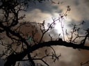 night sky and pear-tree's silhouette