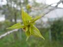 young aspen shoot (populus tremula). 2005-04-17, Sony Cybershot DSC-F717.